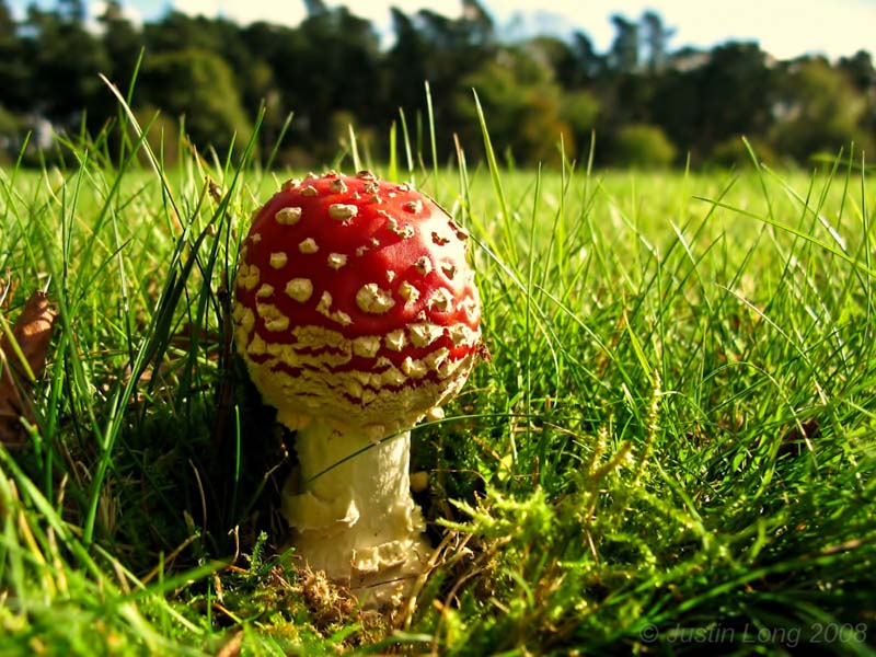 Amanita muscaria by Justin Long